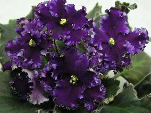 Midnight Frolic (Sorano).   Простые и полумахровые очень крупные бархатистые сливово-пурпурные звёзды. Волнистый гофрированный белый край с оттенками лавандового и светло-сливового цвета. Волнистые бело-зелёные листья. Потрясающий сорт, дающий очень красивые спорты! (Чужое фото)