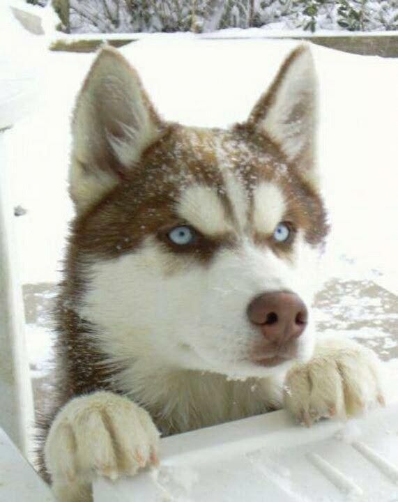 Discover Athletic Siberian Husky Exercise Needs