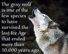 Fact about gray wolves' endurance