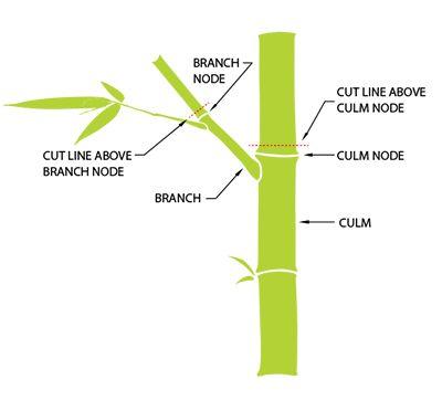 how to make lucky bamboo grow taller