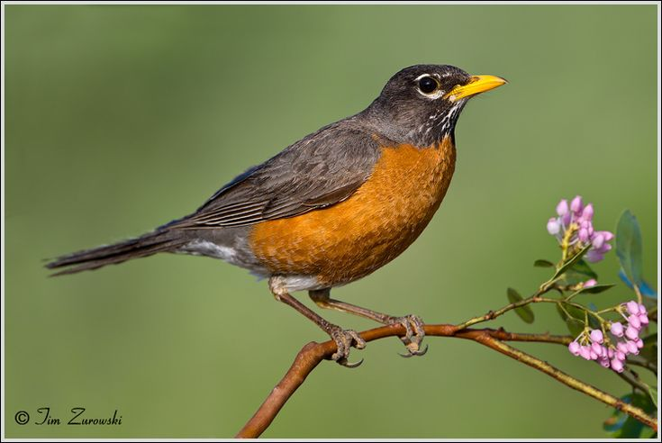 American Robin Facts and Pictures | The Wildlife