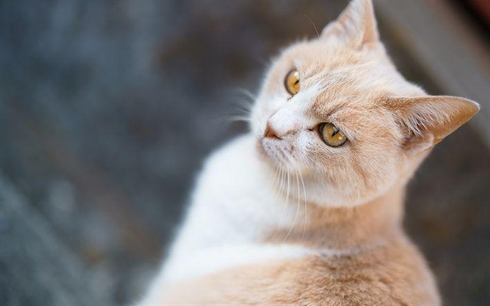 Download wallpapers British Shorthair cat, beige cat, pets, portrait, cat breeds