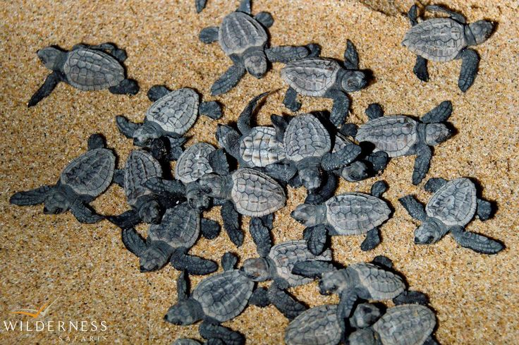Turtle season will be starting soon at Rocktail Beach Camp and we can't wait!  http://www.wilderness-safaris.com/south_africa_maputaland/rocktail_beach_camp/fauna-flora/  #turtle #conservation #maputaland