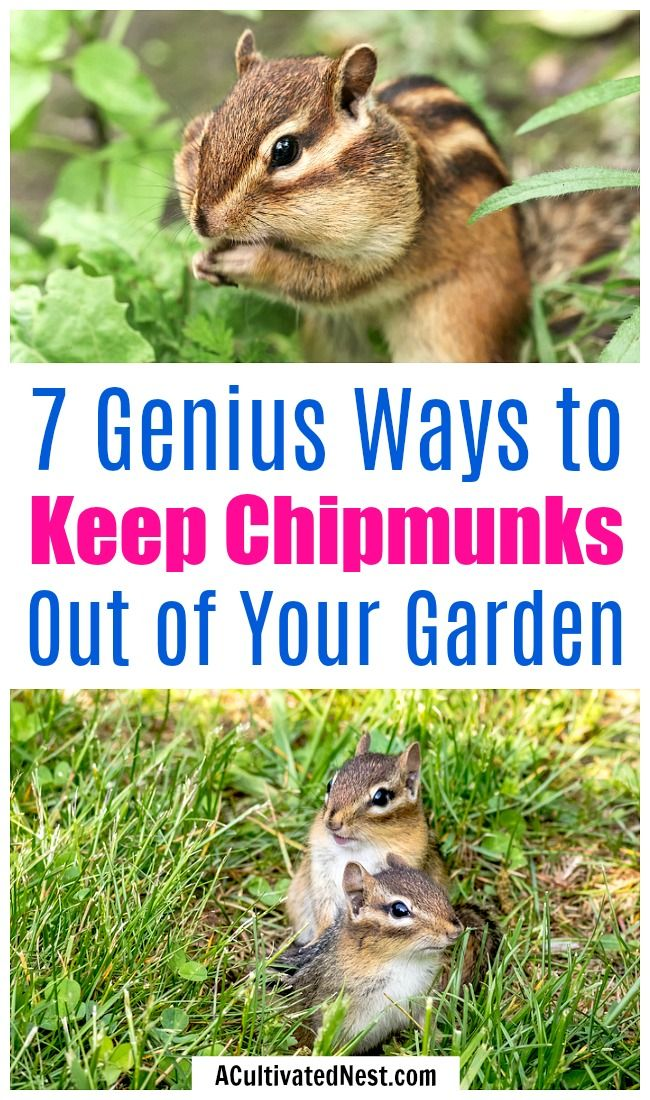 A Chipmunk Hole Gets A Decent Sprinkling Of Red Pepper Get Rid Of Chipmunks Chipmunk Holes Get Rid Of Squirrels