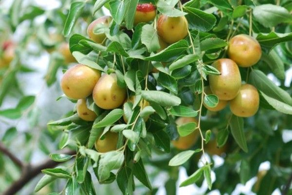 7 Rare Cold Hardy Fruit Trees You've Probably Never Heard Of