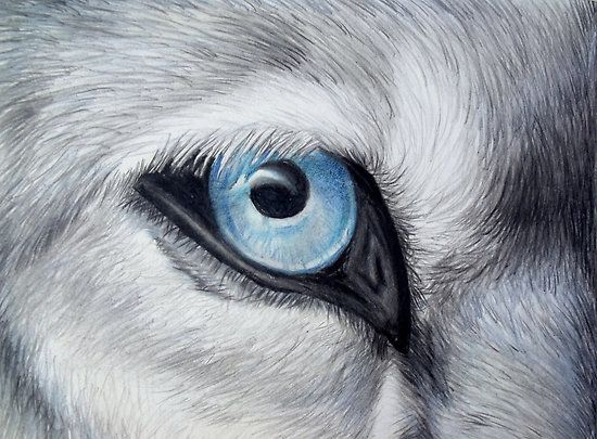 Icy Glance - Silver Gray Wolf Blue Eye Colored Pencil Drawing ...