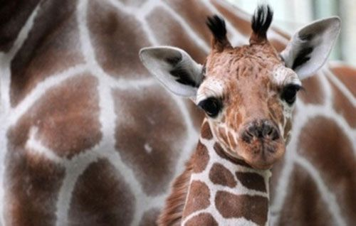 cool giraffes 20 Giraffes are cool, arent they? (32 photos)