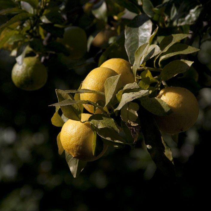 Il bergamotto: l'oro verde della Calabria