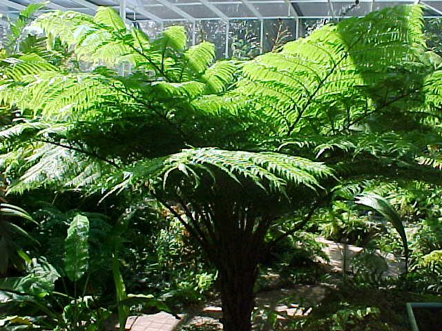 Unlike common ferns, the Australian Tree Fern sports a tree-like trunk, but of course, it's not wood. Description from mgonlinestore.com. I searched for this on bing.com/images