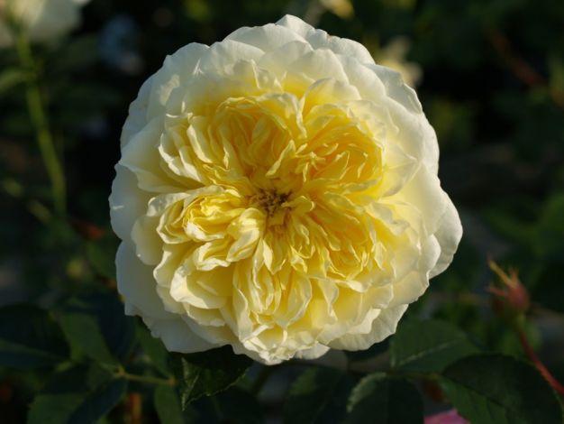 1000 images about da roses on pinterest shrub roses christopher marlowe and fragrance. Black Bedroom Furniture Sets. Home Design Ideas