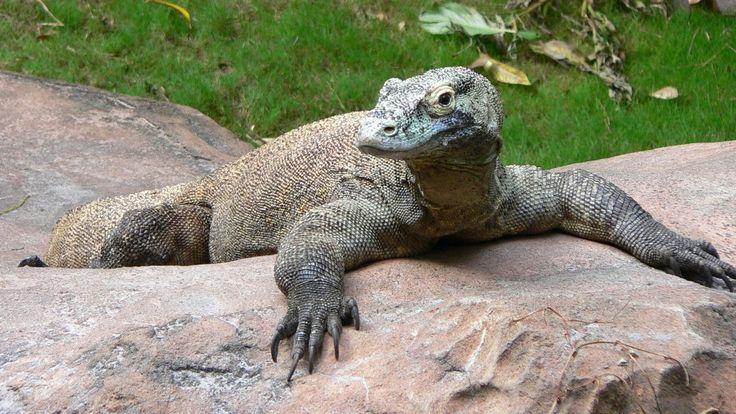Dragon de Komodo (Varanus komodoensis) - https://www.youtube.com/watch?v=tLQyRCTW5uA
