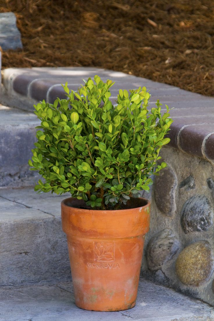 Dwarf English Boxwood - Monrovia - Dwarf English Boxwood. I want one of these on each side of my front doorway! Classic and not original, but cute.