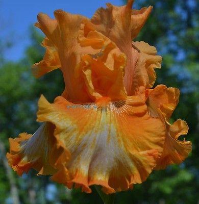 Tall Bearded iris CAJUN RHYTHM(SCHREINER) SPANISH/OCHRE ORANGE-WHITE WASH-RE