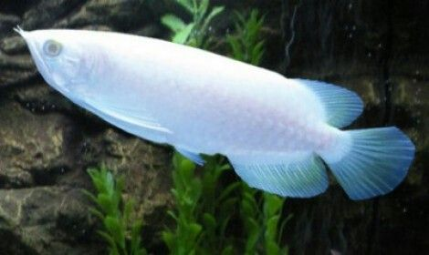 Platinum arowana 400 000 most expensive tropical fish for Most expensive saltwater fish