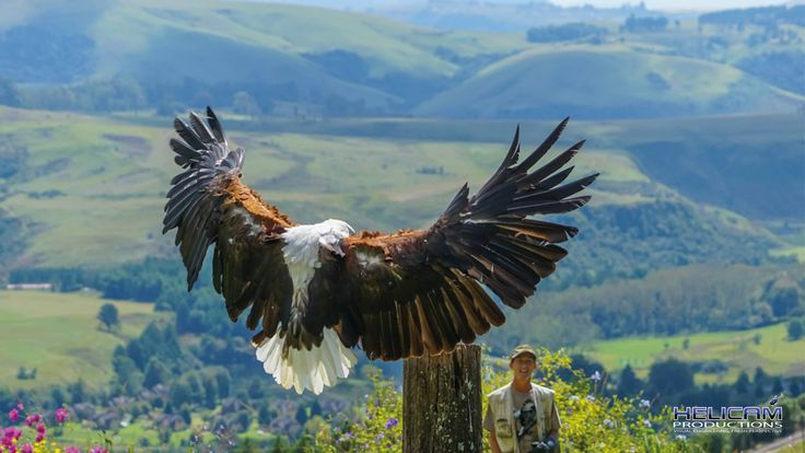 Gorgeous Fish Eagle at Falcon Ridge in Champayne Valley, Drakensberg, South Africa
