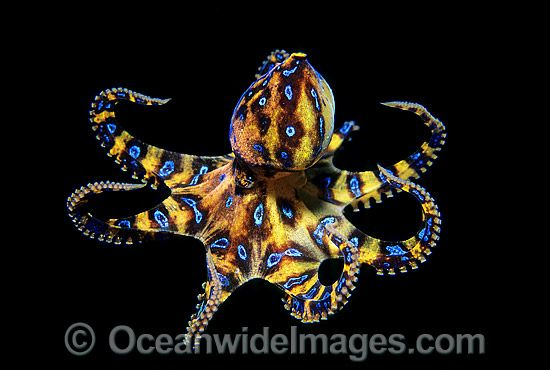 Blue-ringed Octopus is just one of many inspiring Octopus.  I love using swirls and curves in my artwork and these animals are a good challenge when drawing.