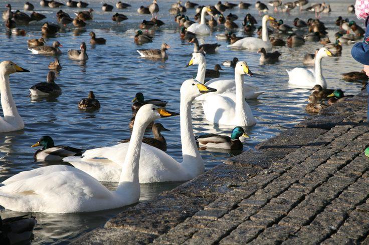 Hundreds of birds in the middle of Reykjavik City.