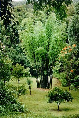 mature timor black bambo will reach max 15m