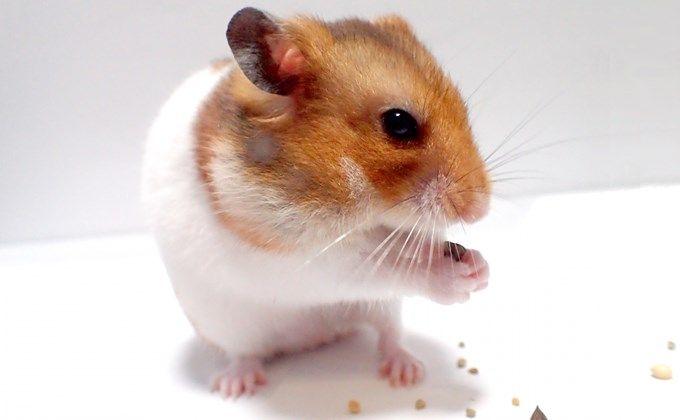 ゴールデンハムスターの飼育方法 値段や体の大きさ 必要なケージは Woriver ハムスター キンクマハムスター ロボロフスキーハムスター