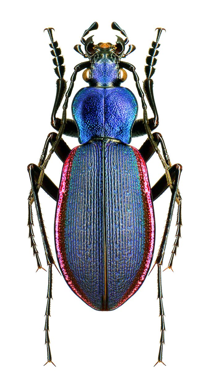Diocarabus caustomarginatus                                                                                                                                                      More