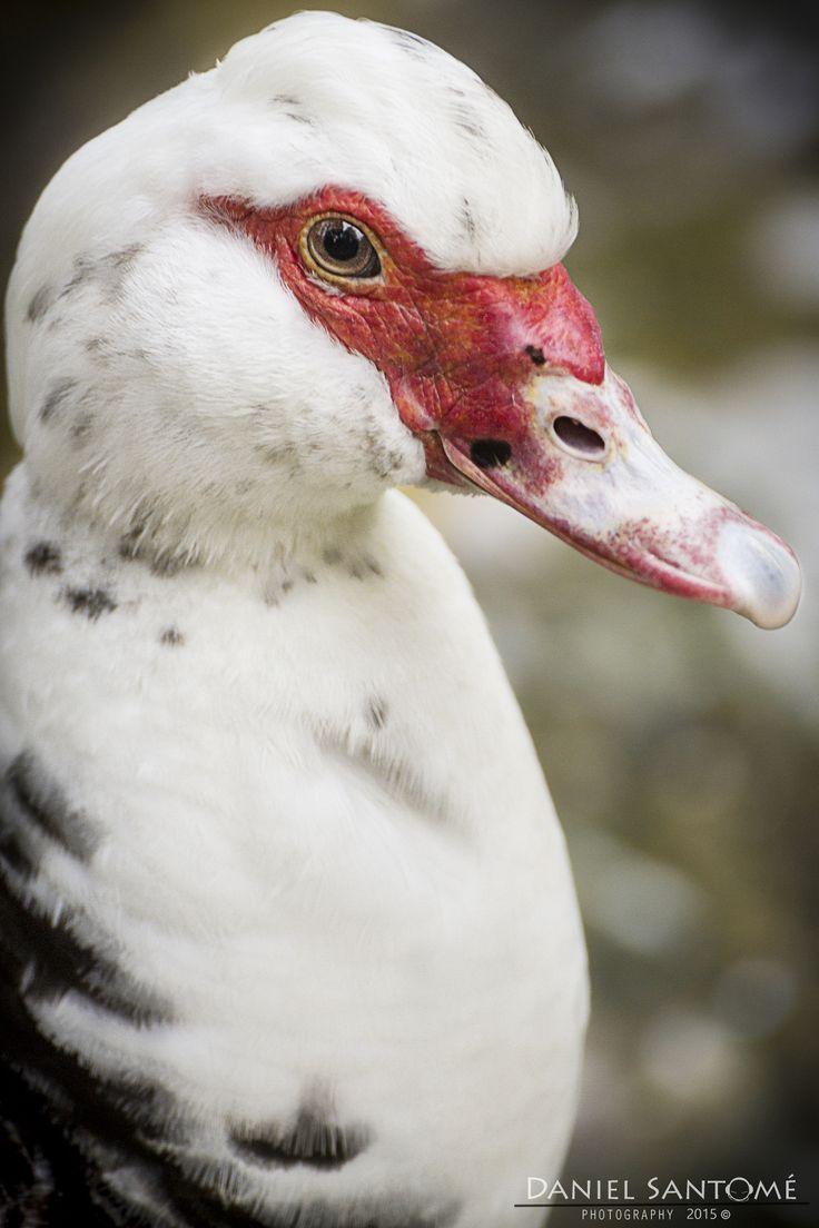 """""""Muscovy"""", fotografía de un pato de Muscovy en el Vigozoo."""