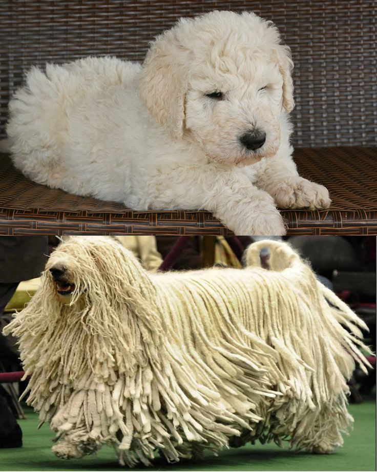 Images Of Komondor Puppies And Adult Dogs Rock Cafe