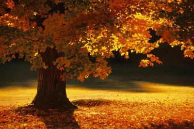 What to plant under a maple tree -- Sweet Woodruff, Bleeding Heart, Ferns, Hostas