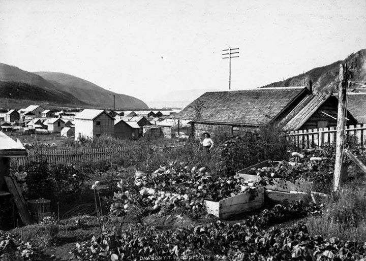 Un potager à Dawson (Yukon), le 19 août 1905  http://collectionscanada.gc.ca/pam_archives/index.php?fuseaction=genitem.displayItem&lang=fre&rec_nbr=3407187