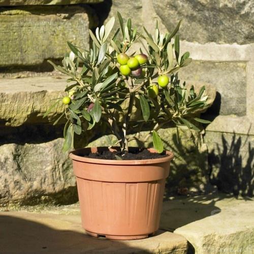 Olive Bush Gift £26.99