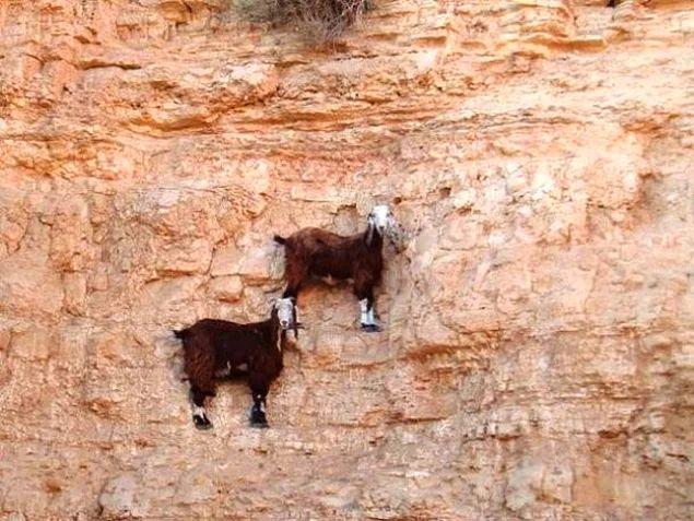 Подсказка - нет, они не зависли в воздухе. Просто горные козлы настоящие профи в скалолазании и могут выполнять такие трюки.