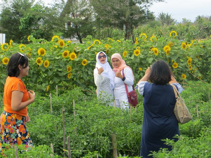 Kebun Bunga Matahari Sanden Bantul