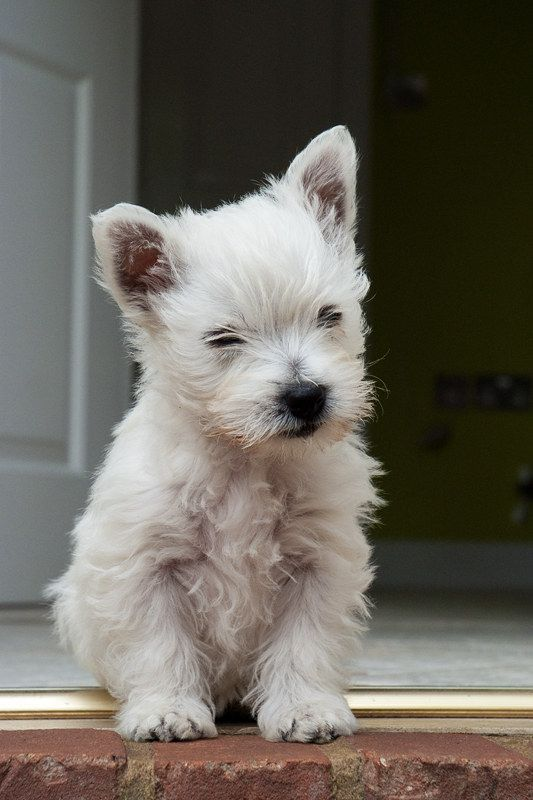 West Highland White Terrier | A Definitive Ranking Of The Cutest Puppies