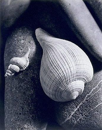 Untitled (two shells on stones) / Max Dupain