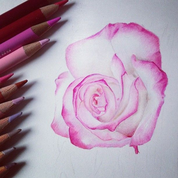• Coloured pencil rose  • Work @jknightart • Use tag #nawden to be featured