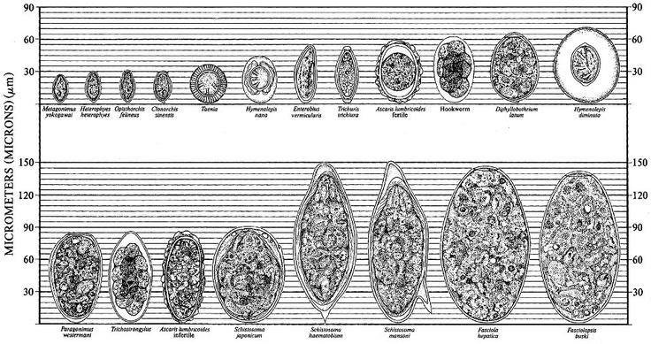 O parasita que vive em peixe de rio
