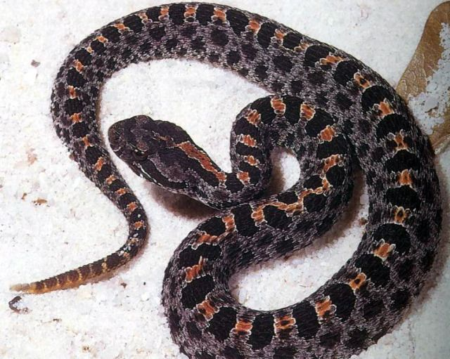 Dusky Pygmy Rattlesnake - Sistrurus miliarius - Is this Snake Venomous? What to Look for when Dealing with Snakes. http://snakebuddies.net