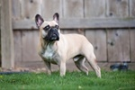 The French Bulldog, also known as the Boule-Dogue Français, the Bouledogue Francais, the Frogdog, Bat Ears and , more affectionately, the Frenchie, is perhaps best known for its bat-like ears, miniaturized Bulldog appearance and clownish personality.