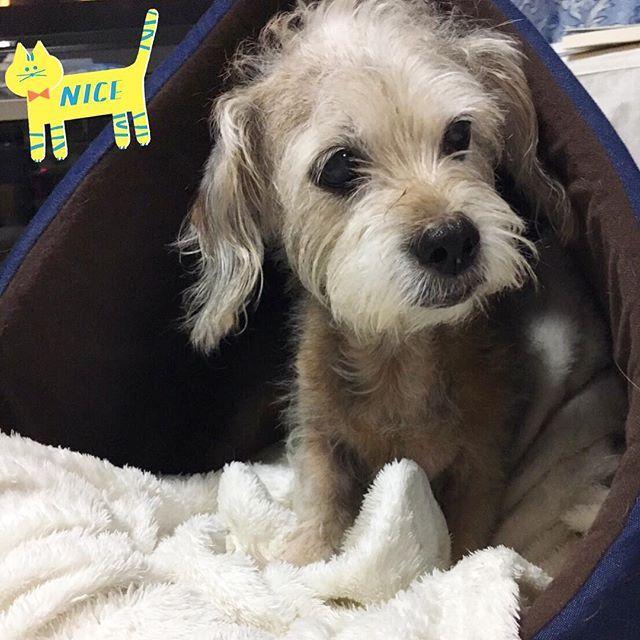 もんちゃん、家買ってもらうの巻。 まあまあ気に入ってるらしい。お気に入りの毛布連れ込んで可愛すぎるやろ。見たい。 #新居 #貢がせ上手なもんちゃん #本日のもんちゃん #テリアミックス #ダックステリア #ヨークス #ダッキー #ミックス犬 #ミックス犬同好会 #愛犬 #実家犬 #dog #dogstagram #dogsofinstagram #dogsofinsta #doglover #terrier #terrierlove #terriermix #terriersofig