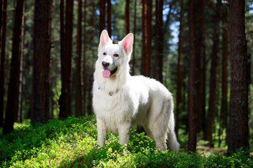 Der Berger Blanc Suisse ist auch unter dem Namen Weißer Schweizer Schäferhund bekannt. Er hat ein angenehmes, freundliches Wesen. Er ist aktiv und besitzt einen großen Bewegungsdrang