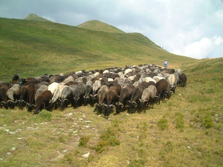 Transumanza pecore sull'Appennino (Garfagnana)