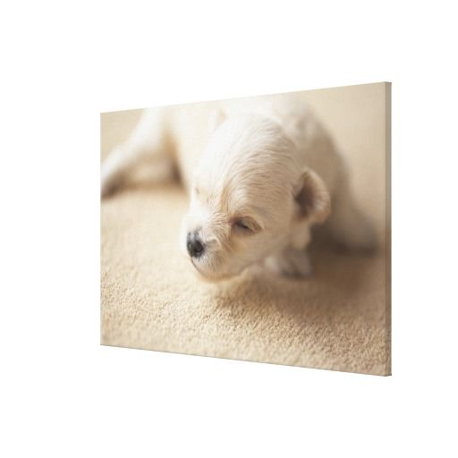 >>>Low Price Guarantee          A Very Young Puppy Canvas Prints           A Very Young Puppy Canvas Prints online after you search a lot for where to buyHow to          A Very Young Puppy Canvas Prints lowest price Fast Shipping and save your money Now!!...Cleck Hot Deals >>> http://www.zazzle.com/a_very_young_puppy_canvas_prints-192287883682232032?rf=238627982471231924&zbar=1&tc=terrest