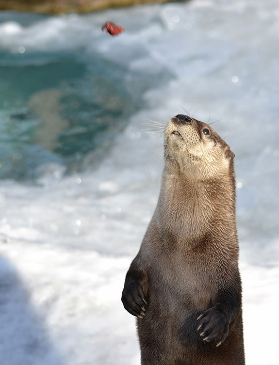 Otter is a split second away from catching a fishy treat - March 4, 2015