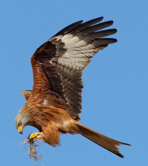 Yorkshire Red Kites | Yorkshire Wildlife Trust