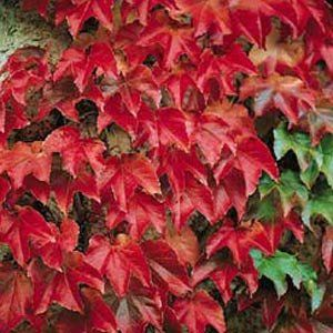 "Boston Ivy Plant - Parthenocissus ticuspidata Veitchii - 4"" Pot by Hirts: Vines & Groundcovers. $7.99. Full Sun to Full Shade. Hardy Zones: 4-8. Self-clinging tendrils. Mature Height: 14-20'. Immediate shipping in 4"" pot. Dormant shipping in winter.. Boston Ivy (Parthenocissus tricuspidata Veitchii.) Perhaps the best and most popular vine for use on stone walls and buildings. Shiny green leaves turn red in the fall. Can grow to 20 feet in time. Likes sun or shade. Hardy..."