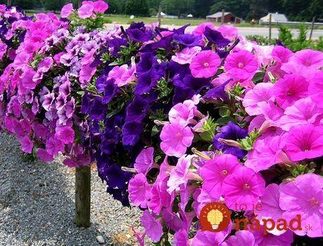 Petúnie sú jedným za najobľúbenejších balkónových kvetov. Ak chcete, aby vám ich tento rok obdivovali všetci susedia, nezabudnite urobiť toto!