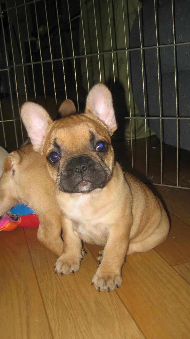 French bulldog, puppy