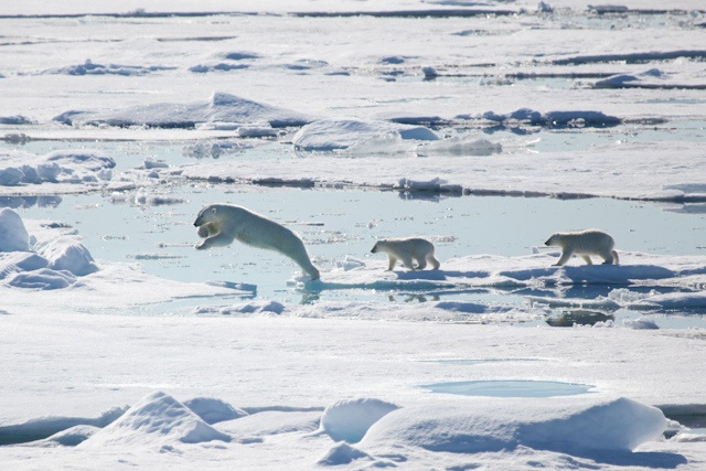 Polar bear teaches her cubs how to leap from ice floe to ice floe in Svalbard. Spotted on Silver Explorer expedition cruise 7116. More info: http://www.silversea.com/expeditions/voyage-journals/?voyagejournal=7116=6