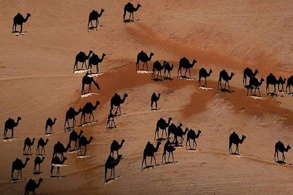 Игра тени. На самом деле верблюды — это те белые черточки на песке.