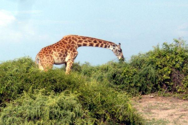 Girafes @ Amboseli