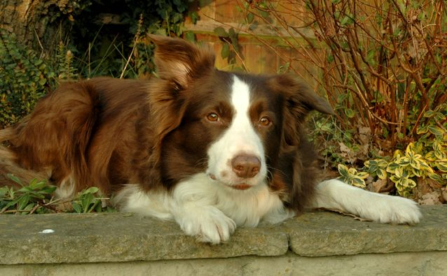 What I want my first dog to be, exactly - brown border collie.